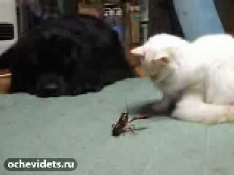 【異種格闘技対決?】猫VSザリガニ