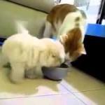 【ご飯をめぐる対決!】巨大猫VSかわいい子犬