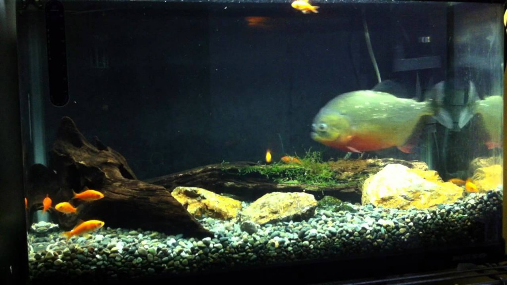 ピラニア vs 金魚20匹