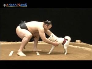 【相撲対決】琴欧洲 vs お父さん犬(ソフトバンク)